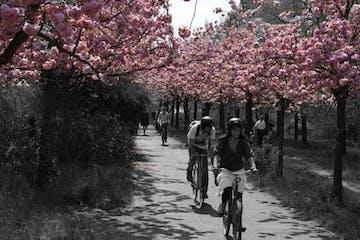 Eine Tour-Gruppe welche unter Kirschblütenbäumen durchradelt