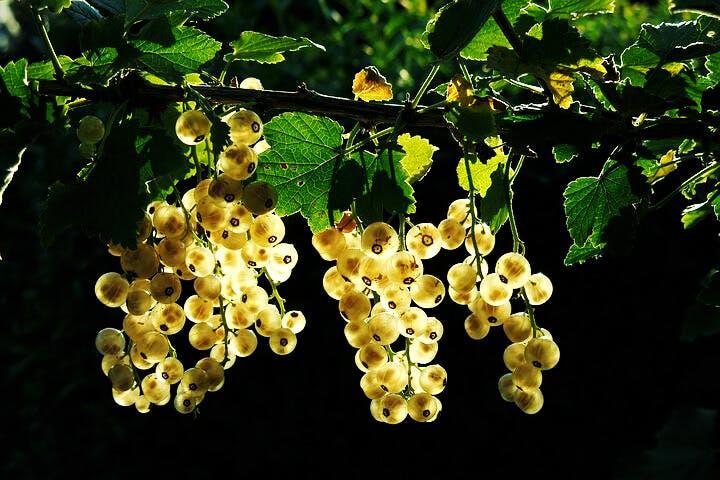 siberian berries