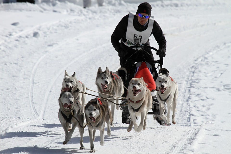 Of all sled dogs, it is huskies that demonstrate increased endurance, excellent speed and ability to work in a team.