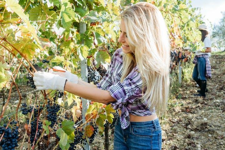 women picking up grapes