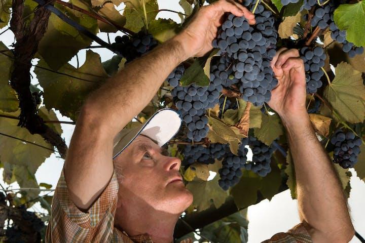 A man picking up grapes