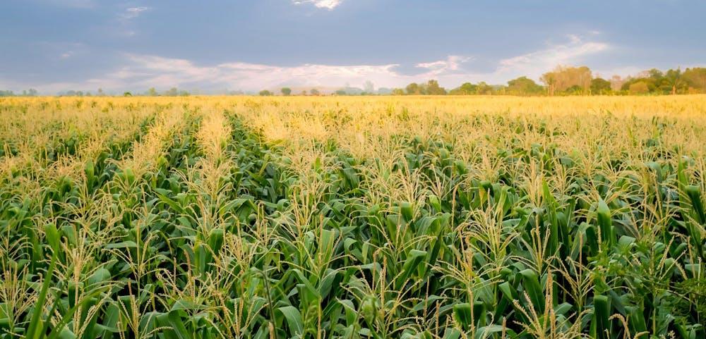 corn farm tour