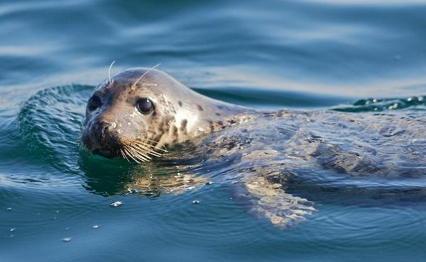 Seal – Photographer Dr. Elliott Hazen NMFS/SWFSC/ERD