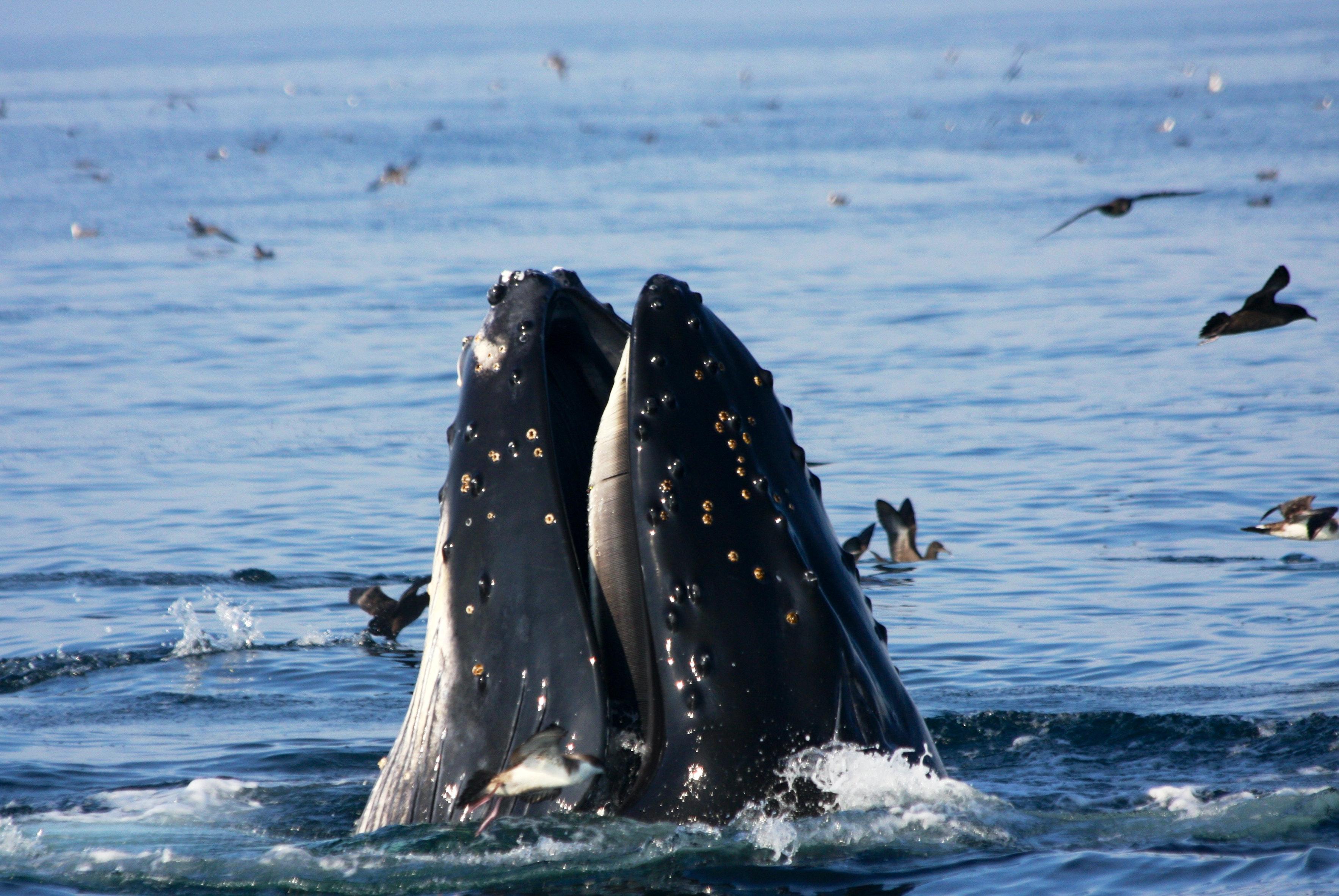 Lunge Feeding Whale – Photographer Dr. Elliott Hazen NMFS/SWFSC/ERD