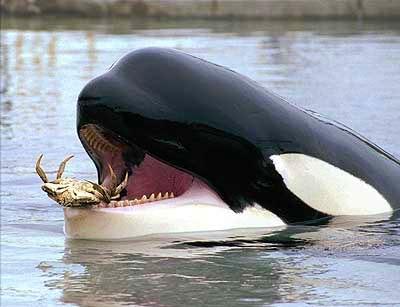 killer_whale_keiko2
