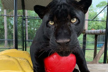 Panther with red ball