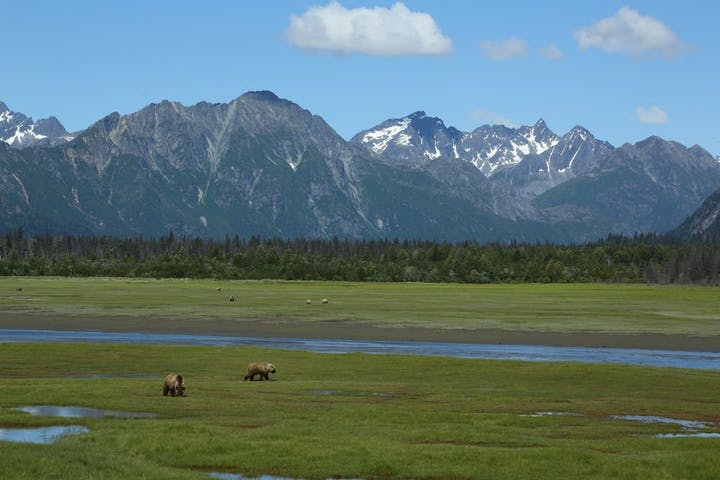 Grizzly bears in meadow