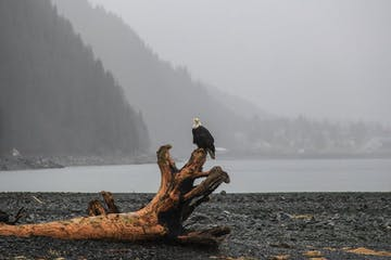 Eagle on stump