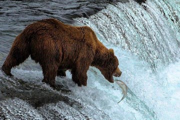 a brown bear standing in the water