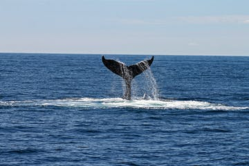 whale tail breaking through ocean surface