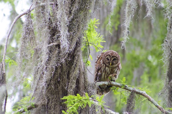 barred owl in a cypress tree