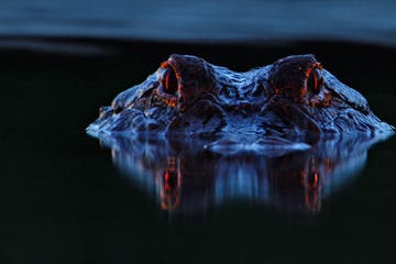night time alligator spotlight
