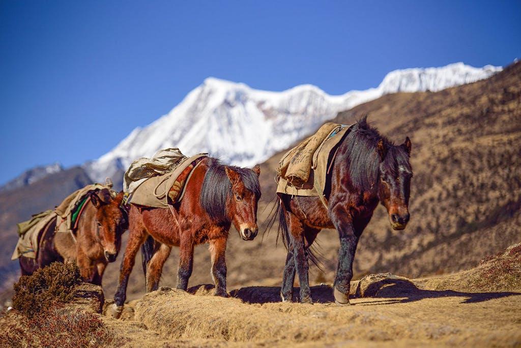 Ponies on a trek in Bhutan.