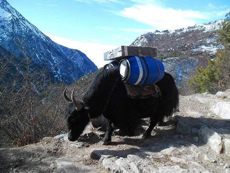 Yaks with wide load