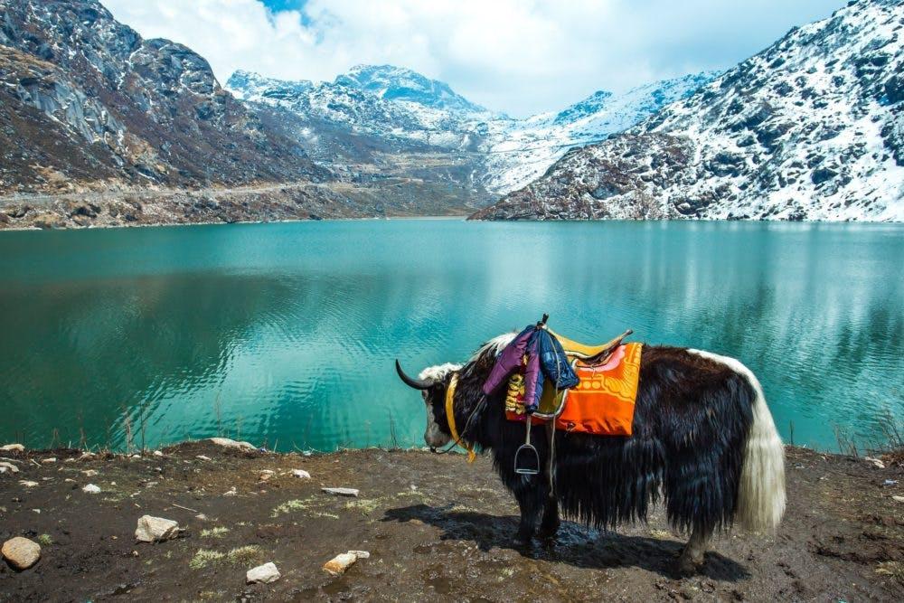 Yak rides in Sikkim