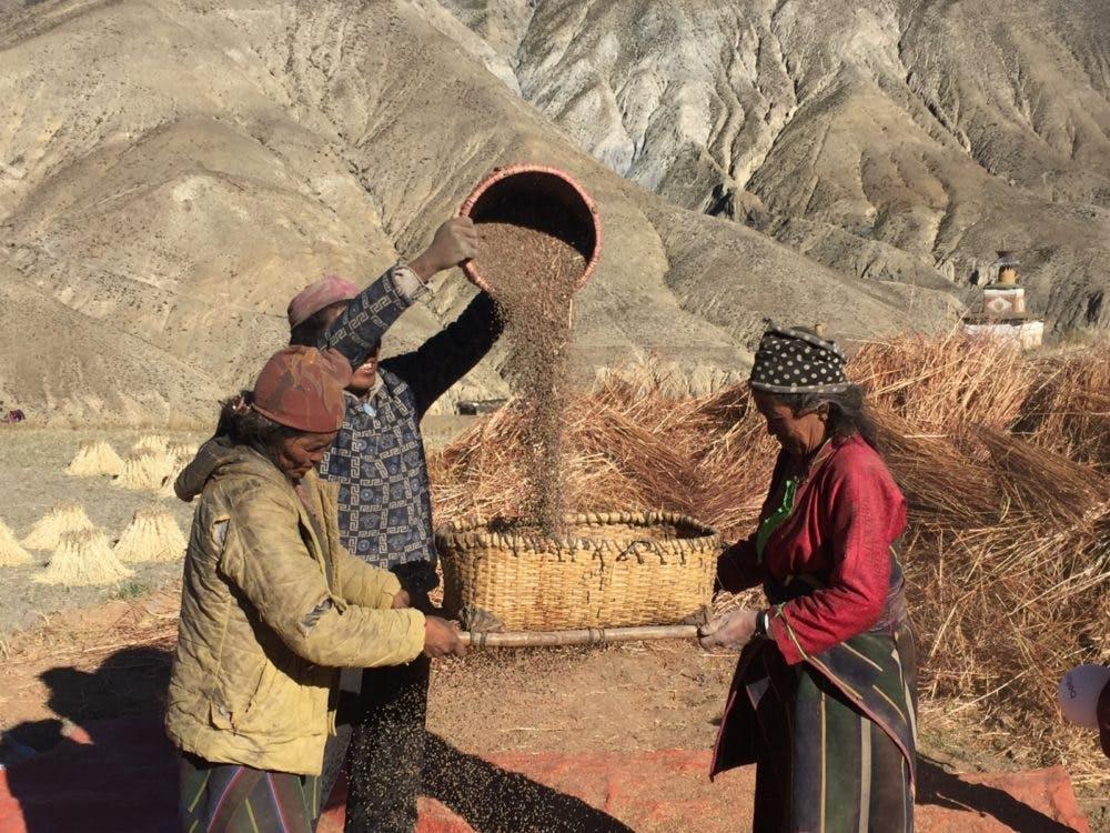 Saldang villagers harvesting their buckwheat, Upper Dolpo