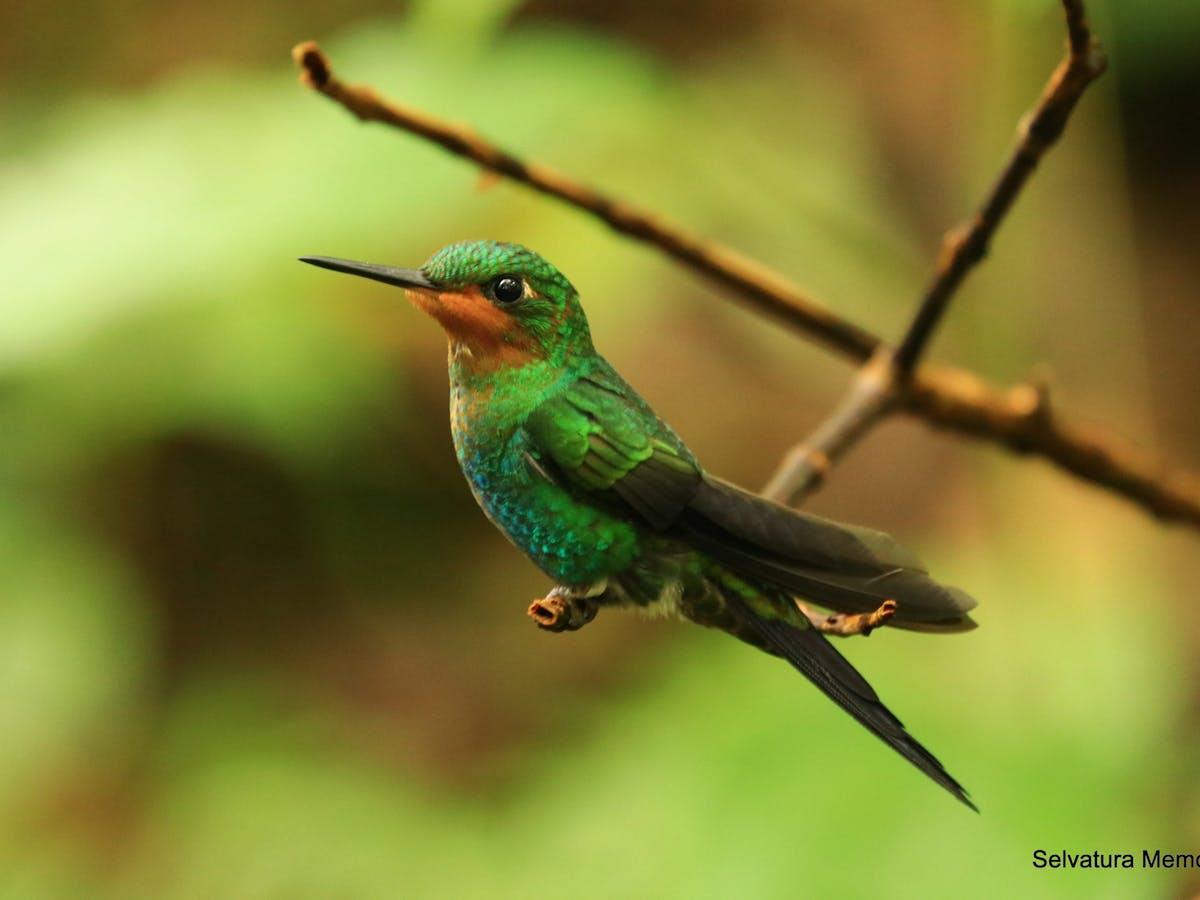 Hummingbird at Selvatura Park