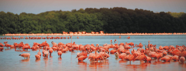 Celestun pink flamingo