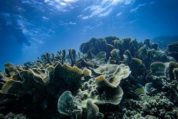 Coral Floret