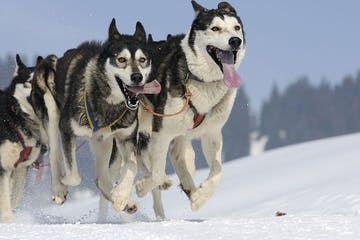 dogsledding dogs running in the snow