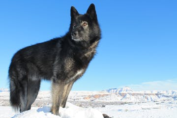 a black dog standing in the snow
