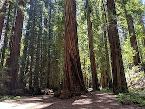 Giant redwood grove