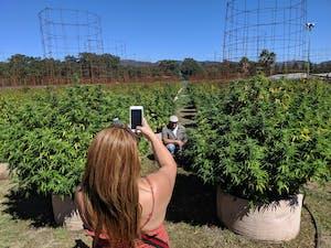 a tourist taking a pic of a friend on a cannabis farm
