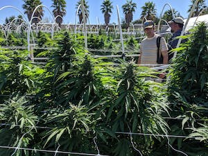 Cannasseurs on one of the pot farms in California's Emerald Triangle among the colas