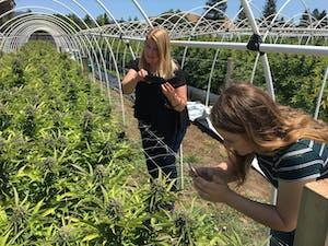 Women taking pics of cannabis plants on a Northern California cannabis farm.
