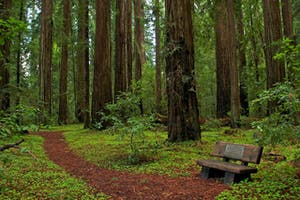 a bench in the middle of the giant redwoods