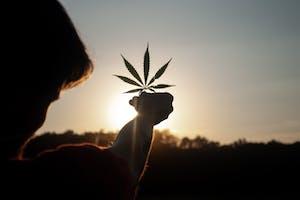 cannasseur holding a cannabis leaf to the sun