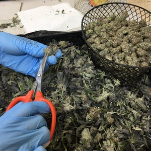 close up of hands trimming cannabis flowers