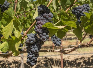 a close up of grapes on the vine