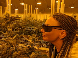Woman smelling cannabis flowers at an indoor grow