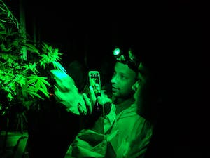 a couple taking pics of budding cannabis plants by green light