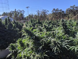 Cannabis plants ready for harvest on one of the pot farms in California's Emerald Triangle