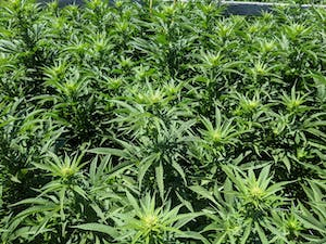 White flowers forming on cannabis plants on one of the pot farms in California's Emerald Triangle