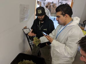 a cannasseur inspects curing buds on a weed tour