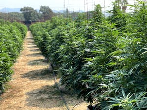 Mature pot plants at one of the pot farms in California's Emerald Triangle