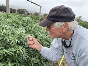 Cannasseur inspects pot plants on a pot farm