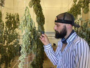 a cannasseur checks out pot plants hanging to dry