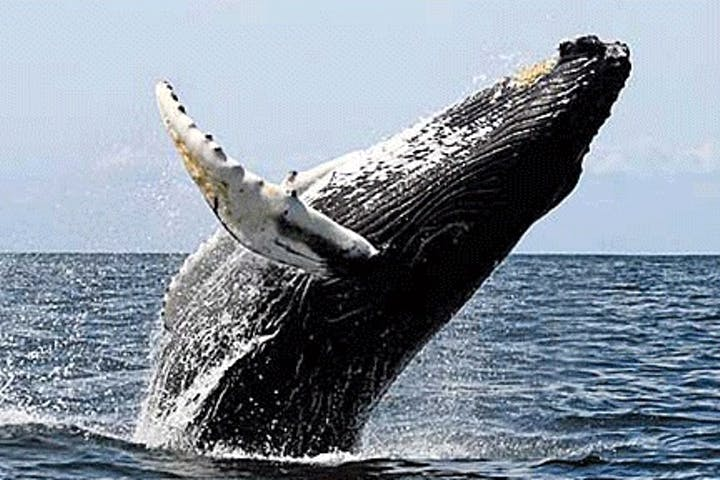 A whale, about two-thirds out of the water!