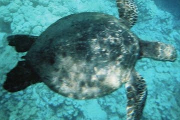 A close-up view of a swimming sea turtle in Kona, HI