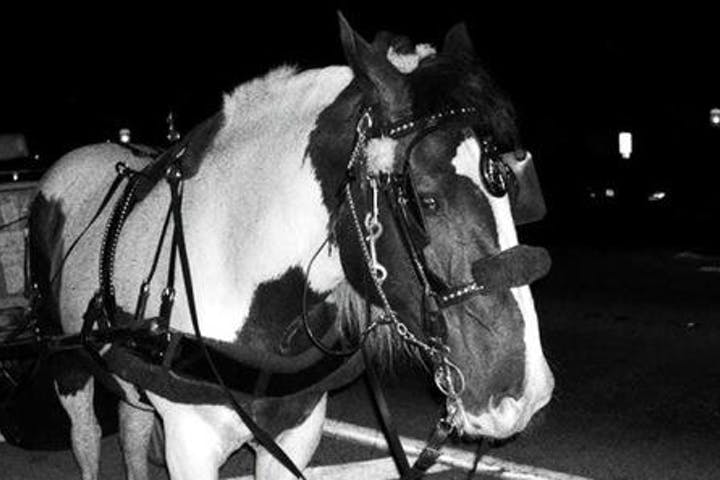 pinto horse in black and white