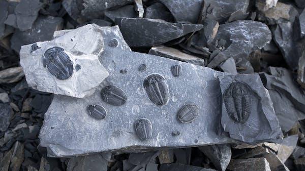 Parlamento ruvido sesso  Buy Shale | U-Dig Fossils