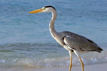 heron on coast