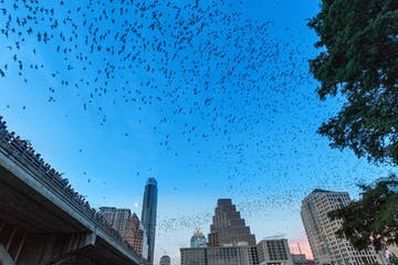 bats flying over downtown austin texas at dusk