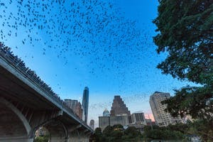 bats emerging from under congress ave bridge in austin tx
