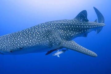 whale shark and baby whale sharks