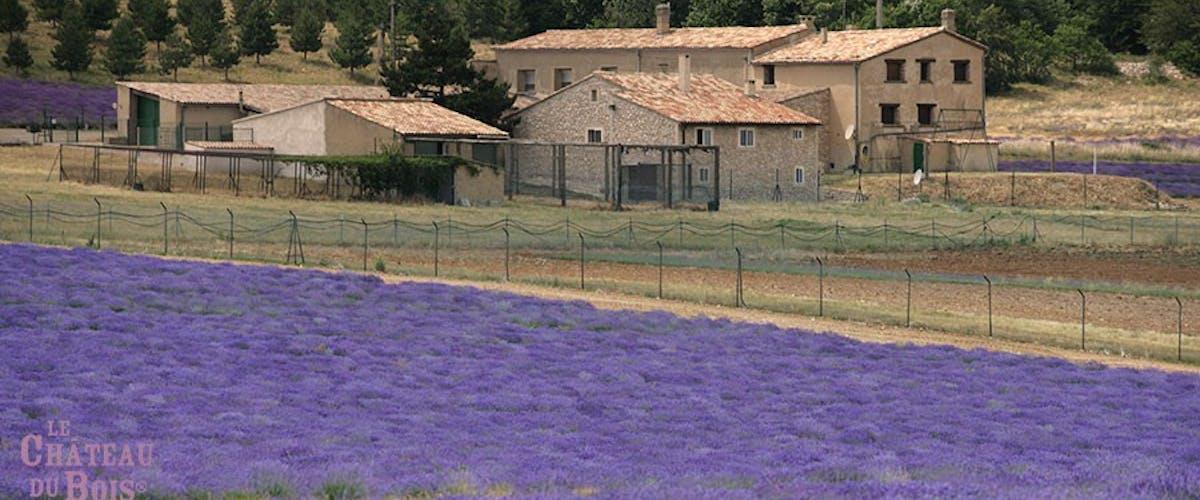 Lavender farm in France